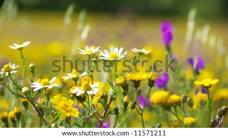 Wild flowers in the field of Portugal. - stock photo