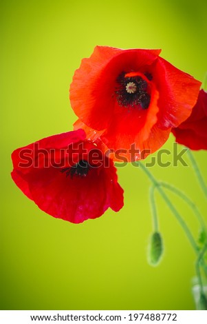wild flowers poppies on green background - stock photo