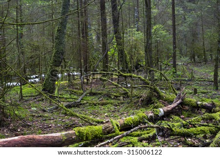 Wild forest, Fallen tree in the forest. Wild forest median strip Europe. - stock photo