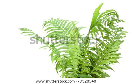 Wild forest Fern green leaves bush isolated on white