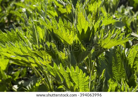 wild forest nettle nettle - stock photo