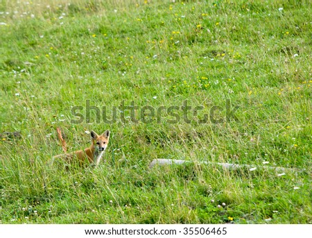 wild fox in a field of wildflowers and grasses - stock photo