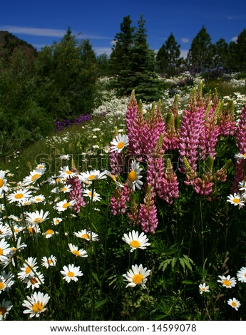 Wild foxglove and daisies growing in high mountain meadow in Idaho - stock photo