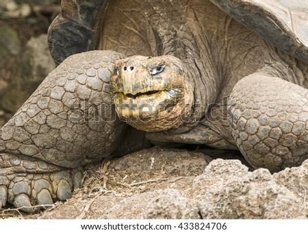 Wild Galapagos Tortoise (Chelonoidis Nigra) - stock photo