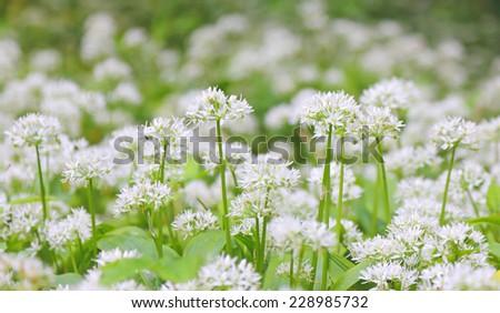 wild garlic flowers - stock photo
