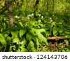 Wild garlic in spring forest - Allium ursinum - stock photo