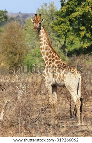 wild giraffe in Kruger National Park, South Africa. - stock photo