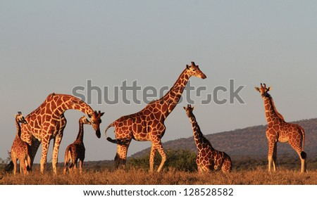 Wild Giraffes - adults and young - in Kenya, East Africa - stock photo
