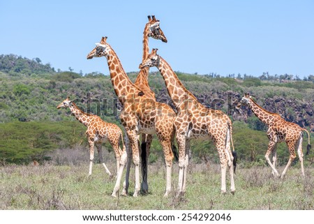 Wild giraffes herd in savannah, Kenya, Africa - stock photo