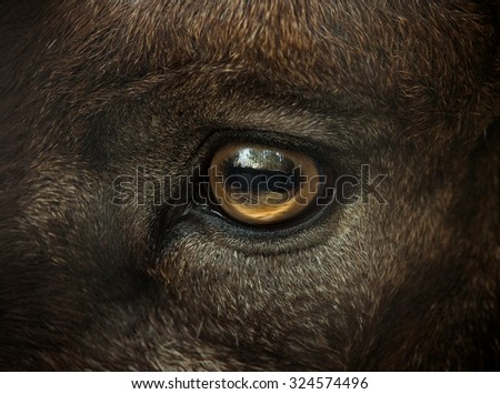 wild goat eye closeup