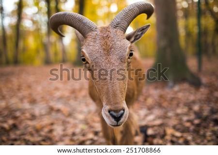 wild goat front view - stock photo