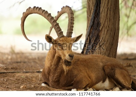 wild goat in nature outside on a summer day - stock photo