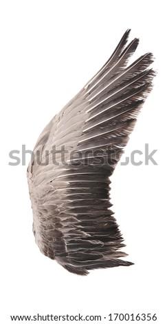 Wild goose wing. Isolated on white background. - stock photo