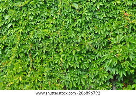 wild grape green wall  - stock photo