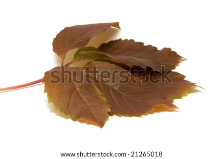 Wild grape leaves on white background