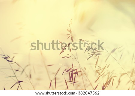Wild grasses in a field at sunset. Soft focus. Vintage filter, retro effect