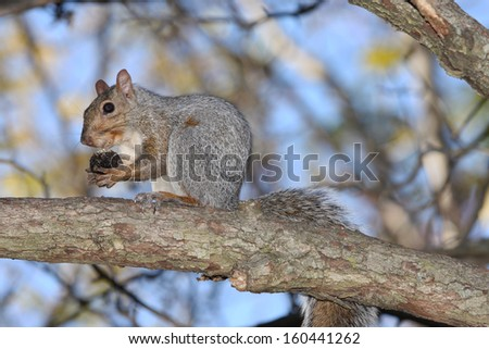 Wild Gray Squirrel Eating on a Tree Branch - stock photo