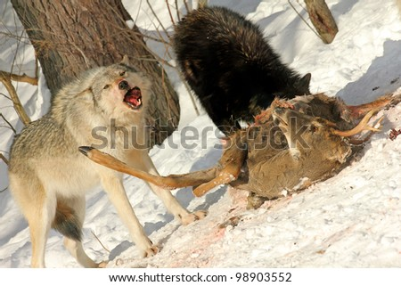 Wild Gray Wolves Feed on a Deer Carcass (this is a wild pack photographed from a blind) - stock photo