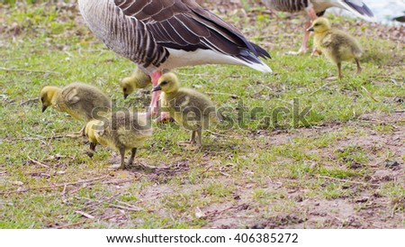 Wild graylag geese (Anser Anser) with their offspring in Goettingen, Germany