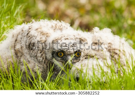 Wild Great Horned Owlet laying helpless on the ground after falling out of the nest - stock photo