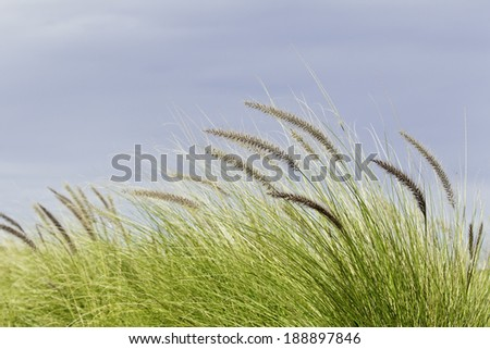 wild green grasses bent by the wind with a blue sky background - stock photo