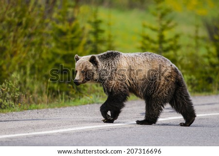 Wild Grizzly bear crossing into traffic on a mountain road, Kananaskis Country Alberta Canada - stock photo