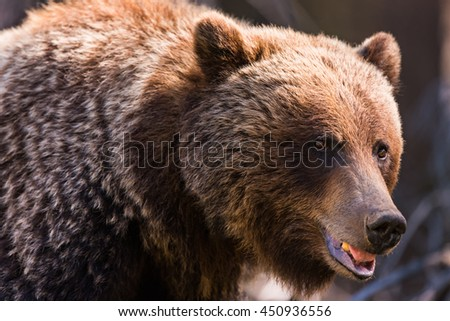 Wild Grizzly Bear in the summertime Banff National Park Alberta Canada - stock photo