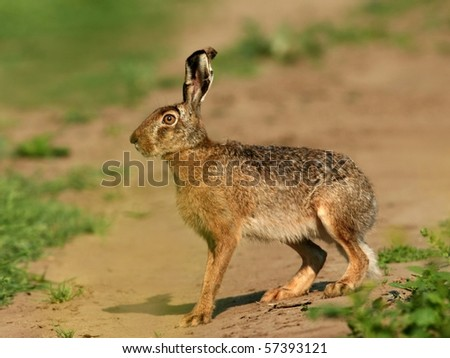 wild hare, natural hide taken photo - stock photo