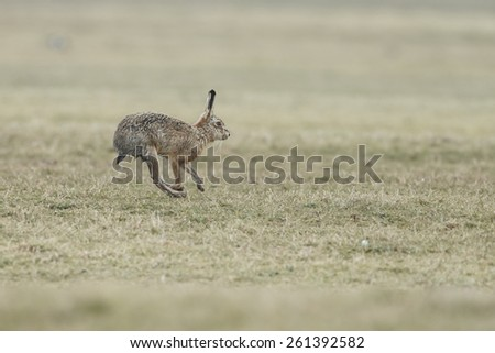 Wild hare on the move - stock photo