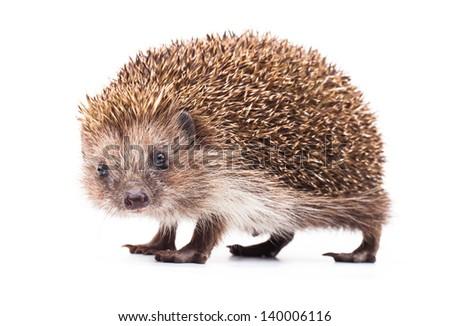 wild hedgehog isolated on white - stock photo