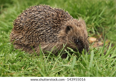 Wild hedgehog out in the garden