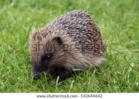 Wild hedgehog out in the garden during the daytime looking for food - stock photo