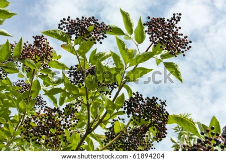 Wild Hedgerow Elderberries in early Autumn ready for picking. - stock photo