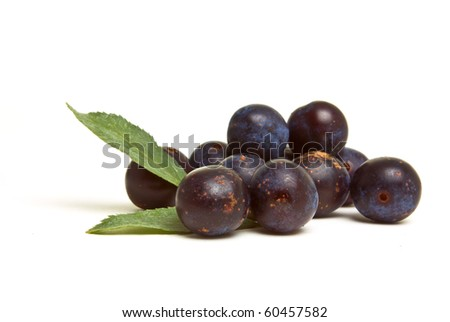 Wild Hedgerow Sloes from low perspective isolated against white. - stock photo