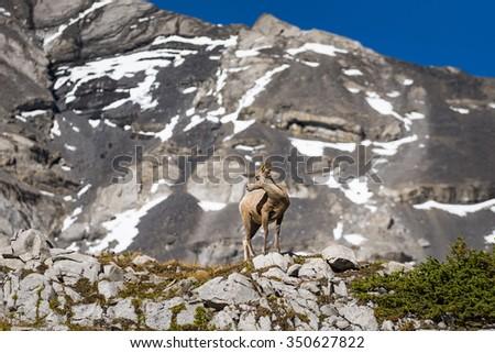 Wild herd of Big Horned sheep high up in a mountain cirque. Kananaskis Country Alberta Canada - stock photo