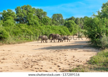 Wild herd of elephants come to drink in Africa in national Kruger Park in UAR,natural themed collection background, beautiful nature of South Africa, wildlife adventure and travel - stock photo