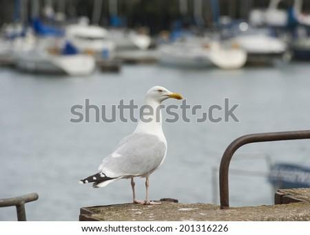 Wild herring gull larus argentatus seabird on harbour wall in english port - stock photo