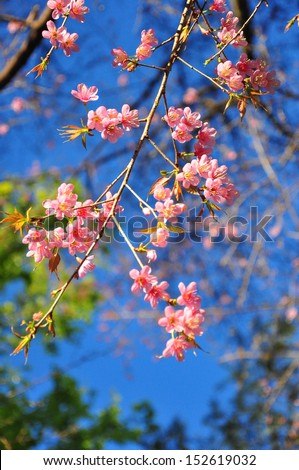 Wild Himalayan Cherry - stock photo