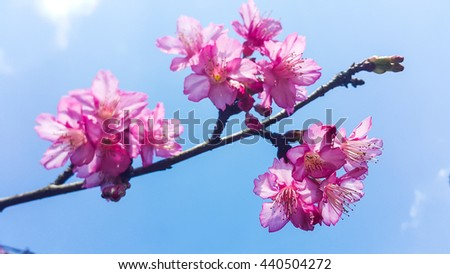 Wild Himalayan Cherry Blossom against blue sky