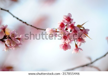 Wild Himalayan Cherry flower (Prunus cerasoides),Giant tiger flower in Thailand.