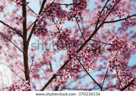 Wild himalayan cherry flower with flare light in the North of Thailand. It has pink color and look like sakura.