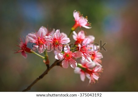 Wild Himalayan Cherry (Plants in the north of Thailand)