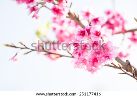 Wild Himalayan Cherry (Prunus cerasoides) blooming in northern Thailand to Himalaya Range in India.