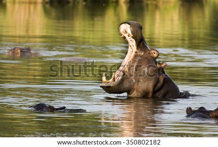 Wild hippo yawning in the river in Kruger Park, South Africa - stock photo