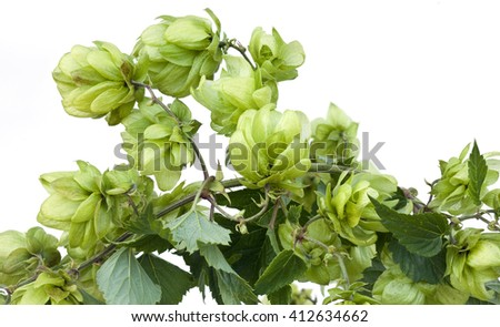 Wild Hop Isolated on White BackGround - stock photo