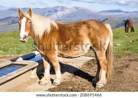 Wild horse drinking in Pyrenees - stock photo