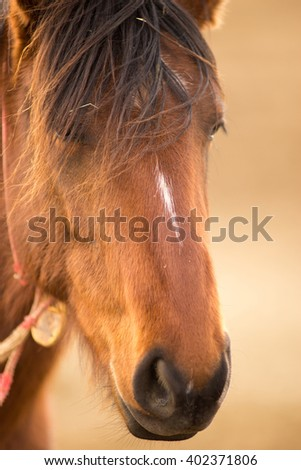 Wild Horse Face Portrait Oregon Bureau of Land Management - stock photo