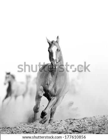 wild horse in dust - stock photo