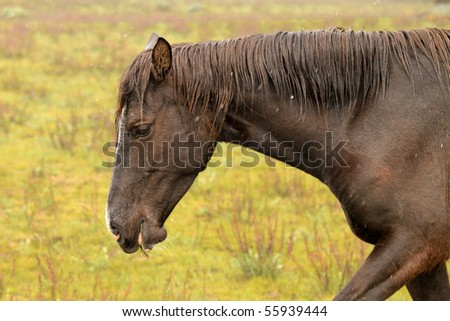 Wild horse in the American West, walking - stock photo