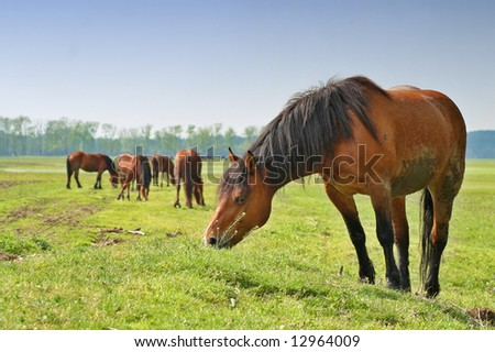 Wild horse on meadow eating
